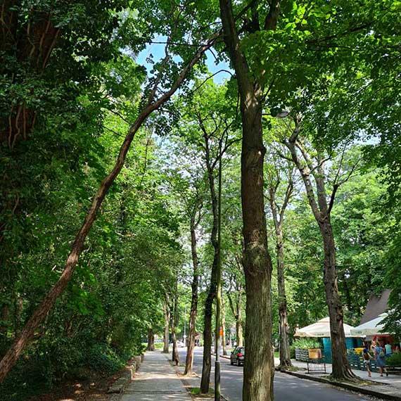 Kolejny przykład zagrażającego ludziom drzewa. Tym razem z ulicy Piłsudskiego
